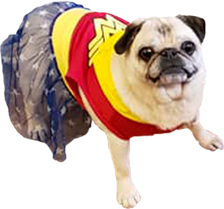 pug in wonder woman outfit rescue